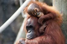 Mom And Baby Orangutan