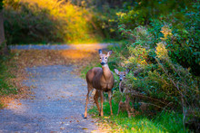 Mother And Fawn White Tailed Deer On A Trail
