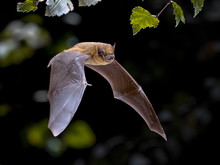 Flying Pipistrelle Bat Iin Nat...