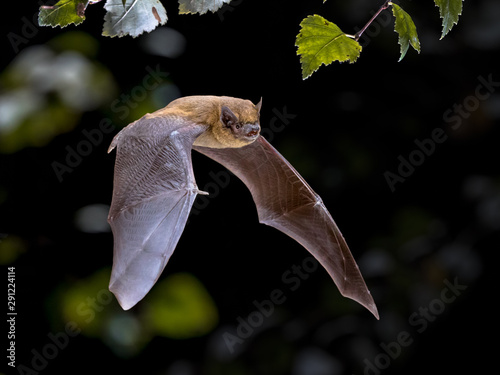 Fotografering Flying Pipistrelle bat iin natural forest background