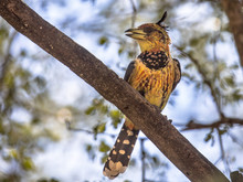 Crested Barbet Perched In Tree