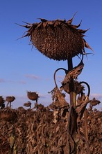 Dry Droopy Bent Sunflower Plan...