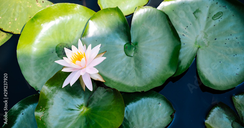 Poster de jardin Nénuphars Lotus flower or water lily in pond Nature concept background.