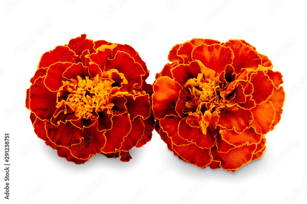 Fototapety, obrazy: French calendula with red flowers close-up. Marigold flower, Marigold erect, Mexican marigold isolated on white background. Two red calendula with shadow isolated on a white background.