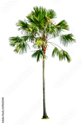Wall Murals Roe palm tree isolated on white
