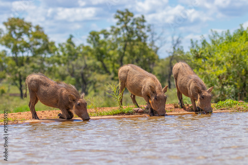 Three little warthog ( Phacochoerus Africanus) drinking at a waterhole, Welgevonden Game Reserve, South Africa Canvas Print