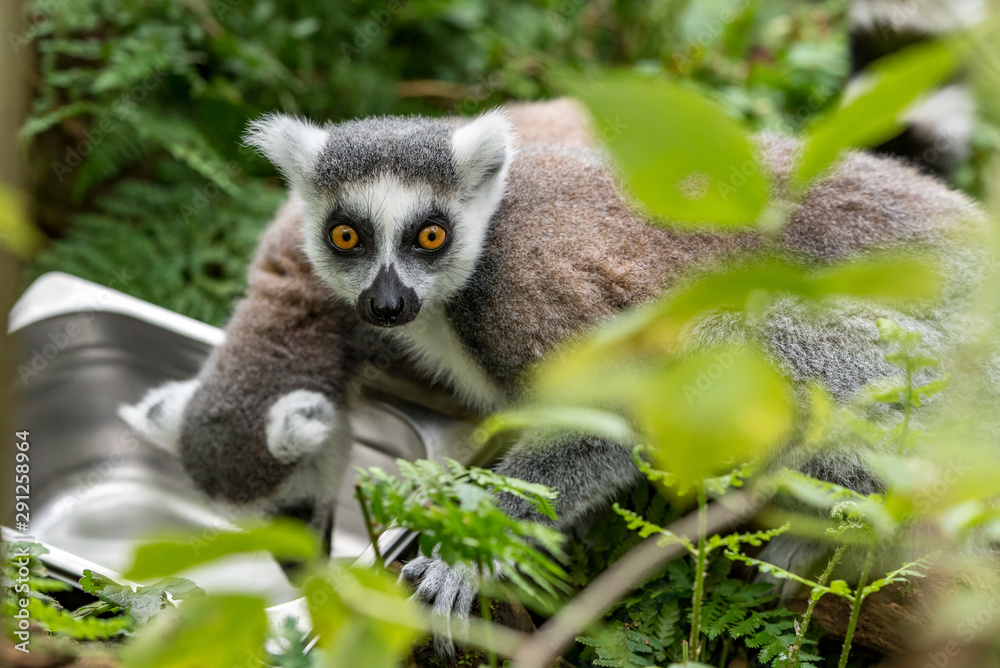 Fototapety, obrazy: ring-tailed lemur looks into the camera