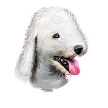 Bedlington Terrier Or Rothbury...