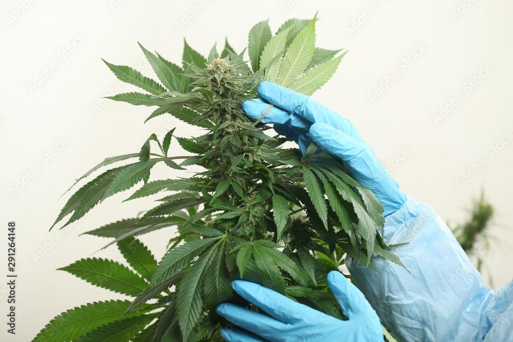 Fototapety, obrazy: study of cannabis in a scientific laboratory growing medical marijuana