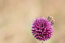 Gros Plan D'une Abeile Qui Butine Une Fleur Mauve Sur Fond Jaune Orangé