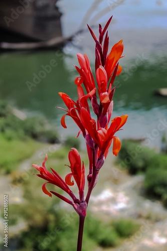 Photo Red Arrowroot