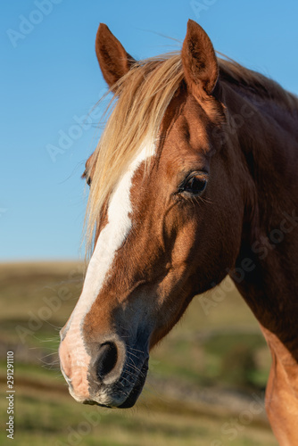 A wild horse on a mountain in the welsh brecon beacons park countryside, Wales, UK
