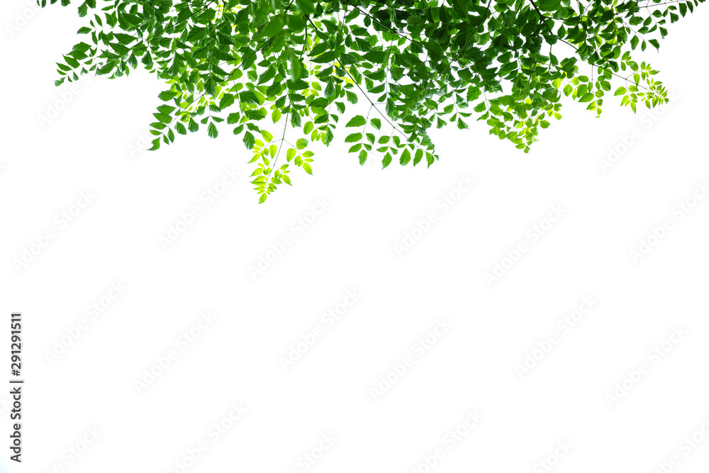 Fototapeta Close up of nature view green cork tree leaf on white background under sunlight and copy space using as background natural plants landscape, ecology wallpaper concept.