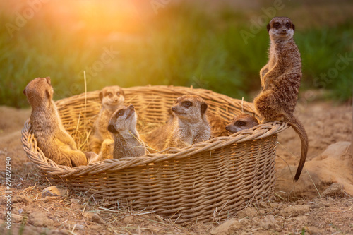 a family of meerkat in a wooden basket in sunlight at day in the summer looking Wallpaper Mural