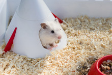 A Cute White Hamster Sits In H...