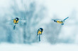 Leinwanddruck Bild - three birds little Tits fly in winter new year garden during snowfall spreading their wings