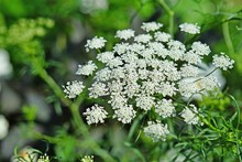White Flower Clusters Of Queen...