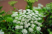 White Flower Clusters Of Queen Anne's Lace Wild Carrot (Daucus Carota) Frowing In The Garden