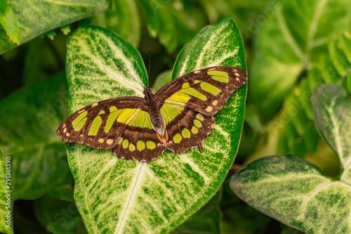 Obraz na plátně  Siproeta stelenes (malachite butterfly), sitting on a green leaf, with open wing