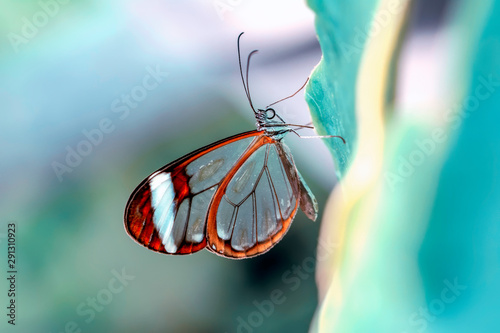 Recess Fitting Butterfly Glasswing Butterfly (Greta oto) in a summer garden