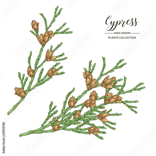 Canvastavla Cypress branches with cones isolated on white background