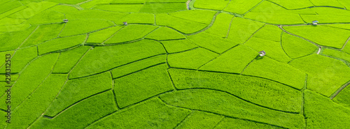 Wall Murals Rice fields Top aerial view of agriculture in rice fields for cultivation. Natural the texture for background. Banner background.