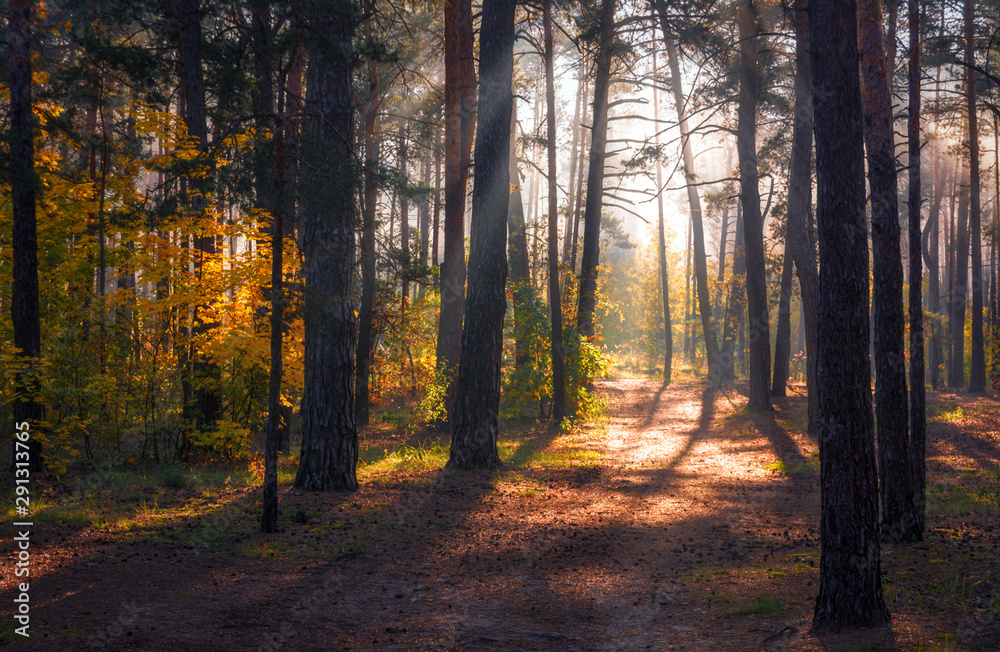 Fototapeta Forest. Beautiful autumn morning. The sun's rays play in the branches of trees.