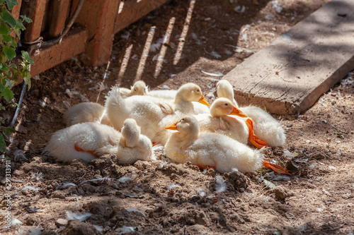 group of baby american pekin ducks warming under the sun
