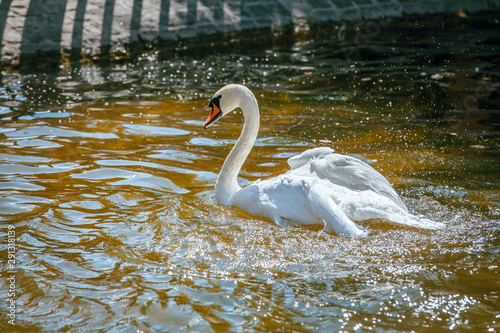beautiful lonely white swan swimming in the pond in park