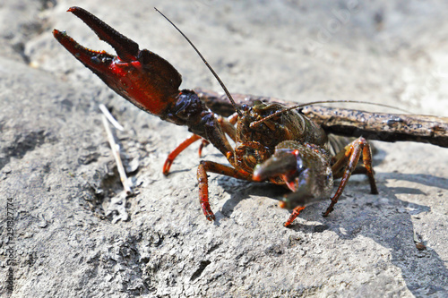 Canvastavla broad-fingered crayfish in deffensive position