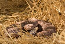Coiled Speckled Rattlesnake