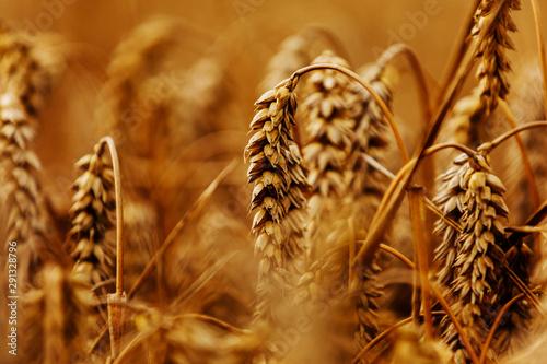 Obraz na plátně  Ears of golden wheat