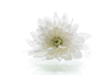Single Flower Of White Chrysan...