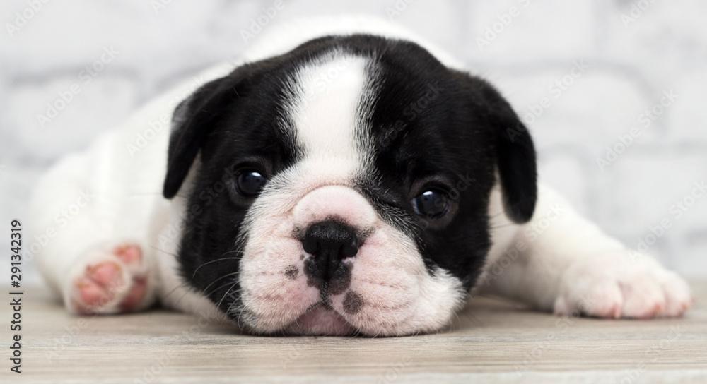 Fototapety, obrazy: french bulldog puppy on brick wall background