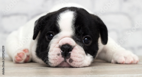 Keuken foto achterwand Franse bulldog french bulldog puppy on brick wall background