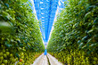 canvas print picture - Rows of tomato plants growing inside big industrial greenhouse