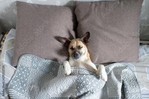 Fotomural  Funny dog lying on back on bed under blanket in tender pose