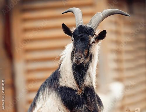 Photo Portrait of a goat of multicolored colour