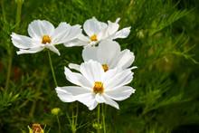 Summer Flowers White Cosmos Flowers - In Latin Cosmos Bipinnatus
