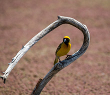 Southern Masked Weaver, Photographed In South Africa.