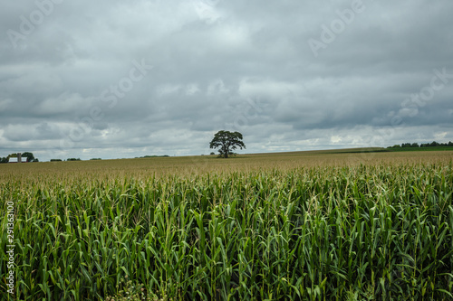 large interesting tree in middle of vast corn field on an overcast day
