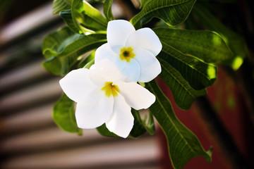 Obraz na płótnie Canvas white flower on green background