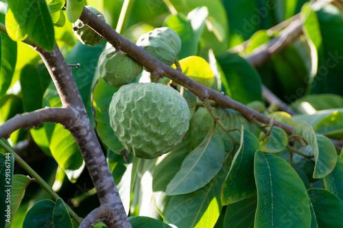 Plantations of cherimoya custard apple fruits in Granada-Malaga Tropical Coast region, Andalusia, Spain, green cherimoya growing on tree - 291367144