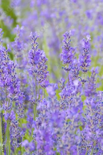 Fototapeta Lavender Flowers at the Plantation Field, Lavandula Angustifolia obraz na płótnie
