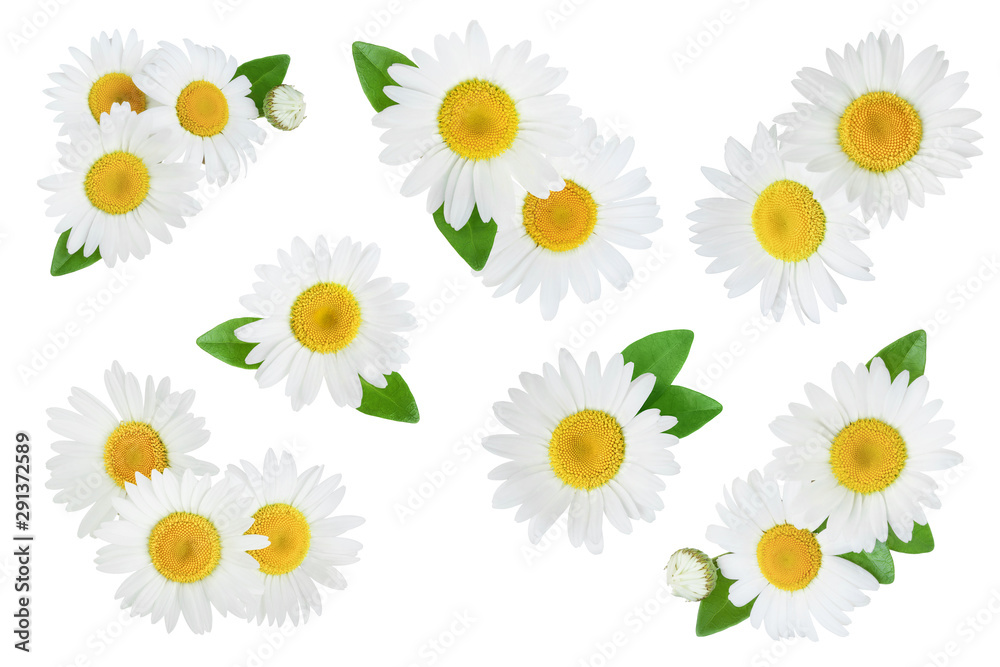 Fototapety, obrazy: one chamomile or daisies with leaves isolated on white background, Set or collection