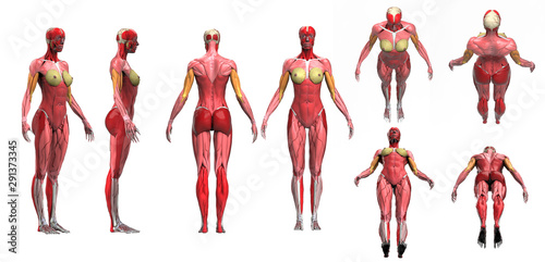 Fotografía  Female muscle anatomy multiple poses disolated 3d render