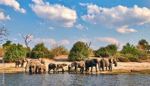 Herd of elephants (Loxodonta africana). Wallpaper Mural