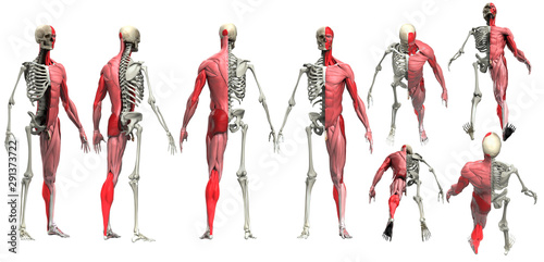 Half muscle half skeleton multiple view of male body anatomy 3d render Canvas Print