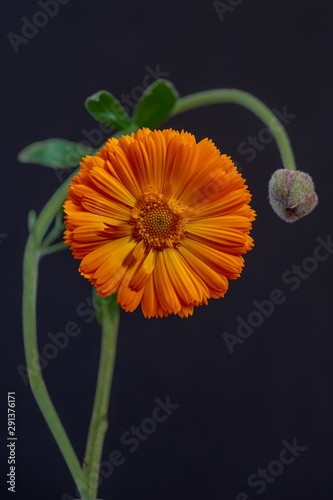 Fotografie, Tablou  The flower and the bud  still life with orange composite flower with convoluted