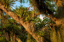 Epiphytes Up On A Tall Tree In...